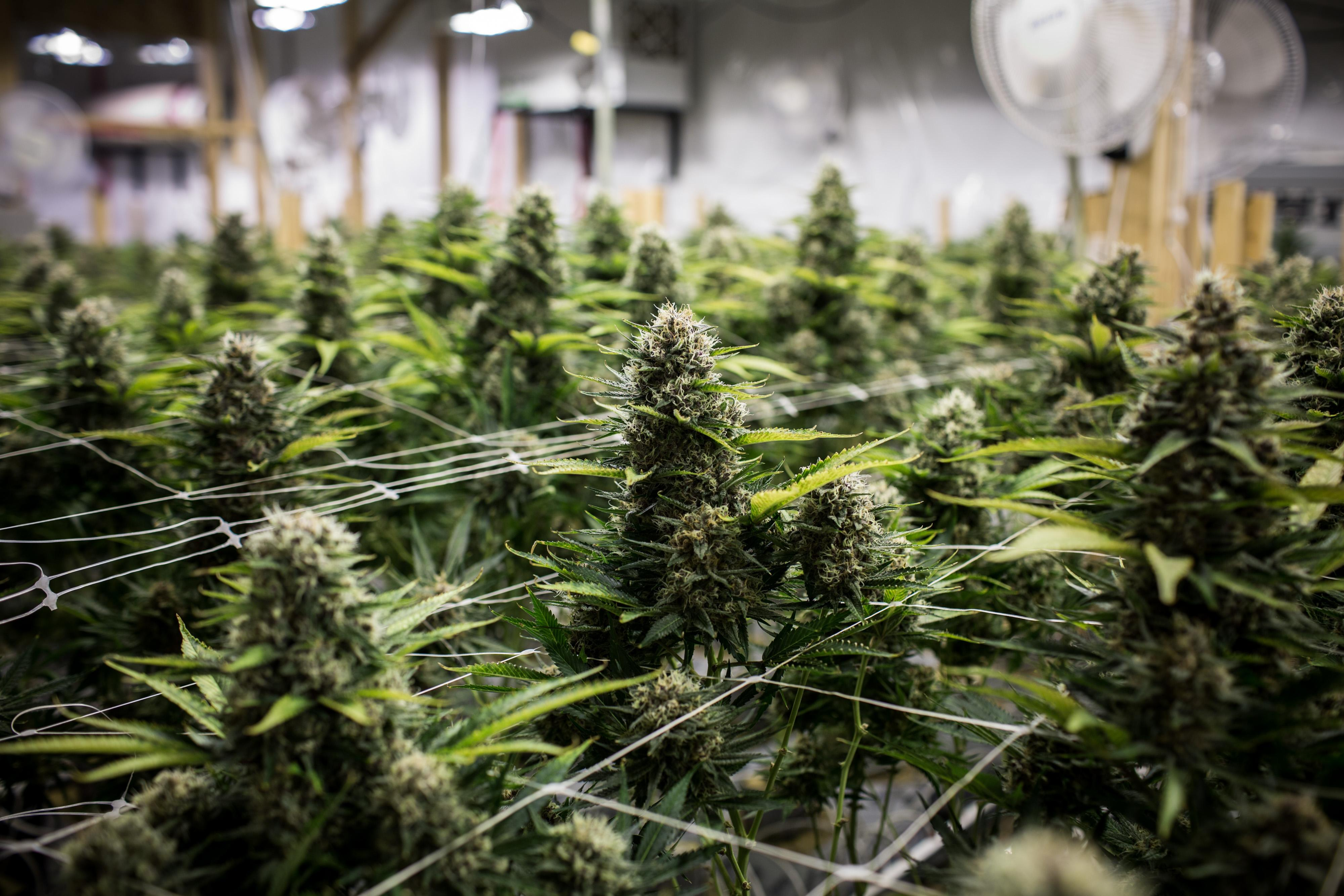 Check out the Analyst's Opinions: Canopy Growth Corporation (CGC)