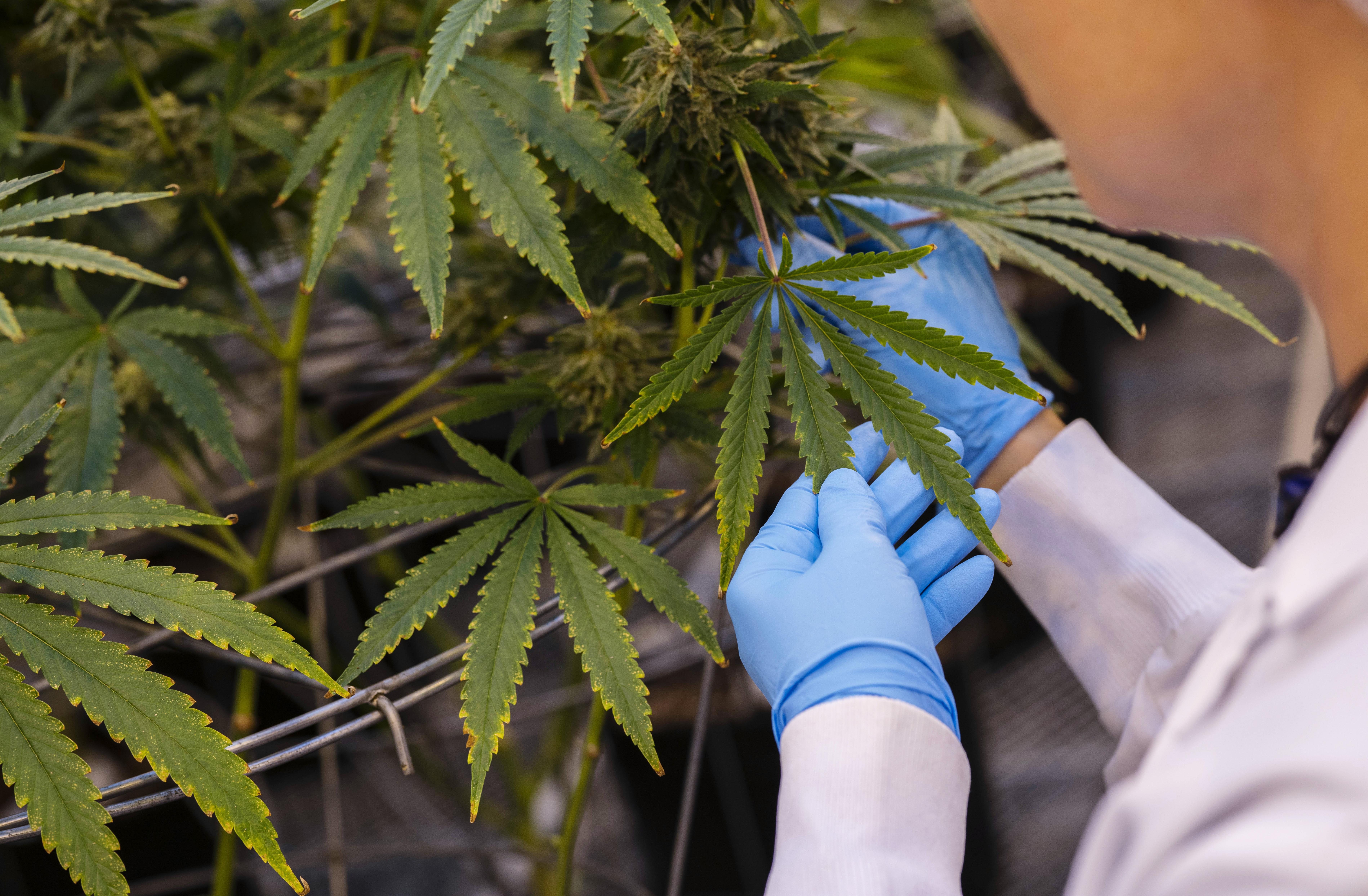 marijuana plant after Aurora Cannabis Q2 earnings